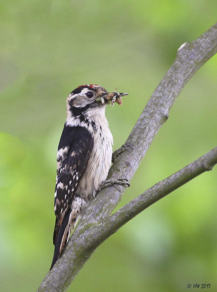 bonte specht vogelfotografie