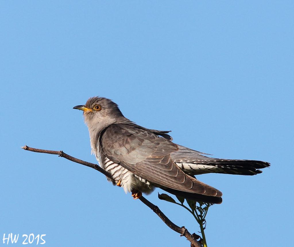 koekoek vogelfotografie