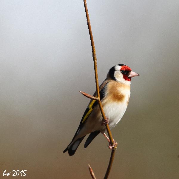 Putter lucht achtergrond vogelfotografie