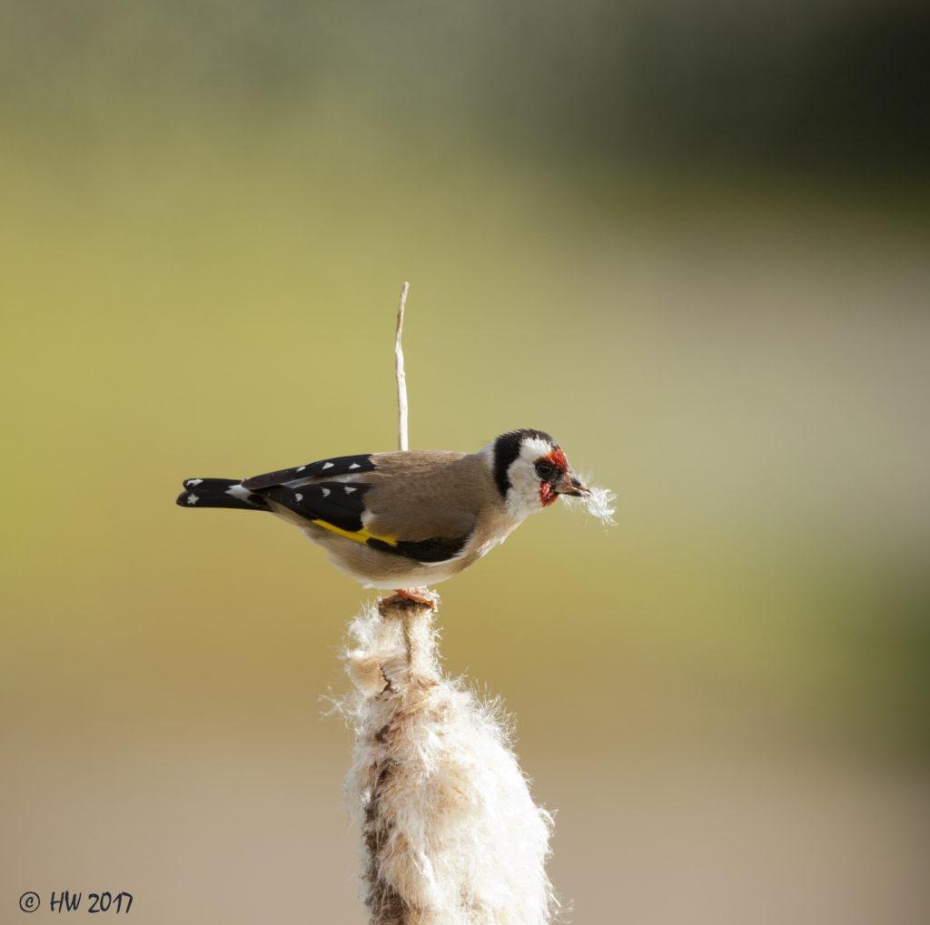 putter pluisje vogelfotografie